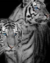 black-and-white-lion-zwartwit-staand