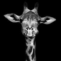 giraf-vierkant
