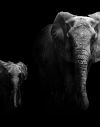 olifanten-staand