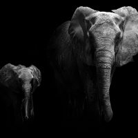olifanten-vierkant