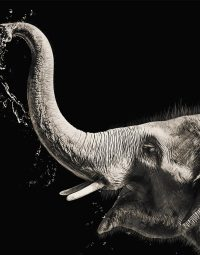elephant-with-water-zw-staand
