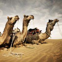 camels-kleur-vierkant