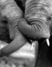 elephant-black-and-white-zw-staand