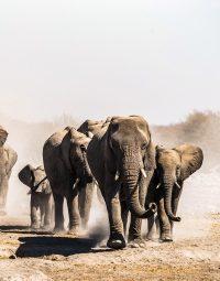 elephants-kleur-staand