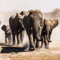 elephants-kleur-vierkant