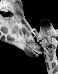 giraffe-with-baby-zwart-staand