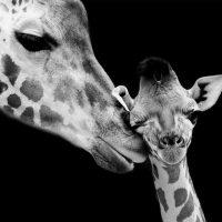 giraffe-with-baby-zwart-vierkant