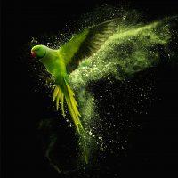 green-parrot-vierkant