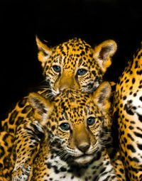 leopard-with-babies-kleur-staand