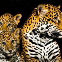 leopard-with-babies-kleur-vierkant