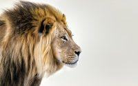 male-lion-kleur-liggend