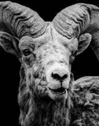 mountain-goat-zwart-staand