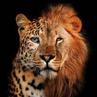 Jaguar lion vierkant