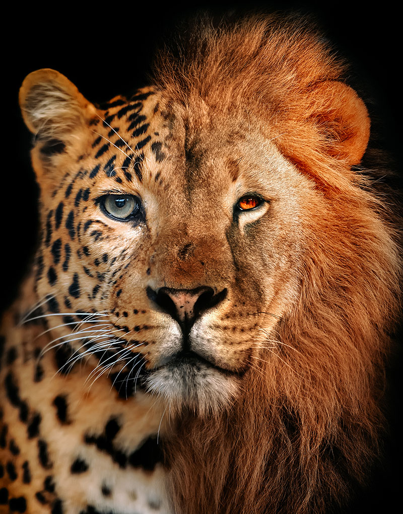 Jaguar lion schilderij