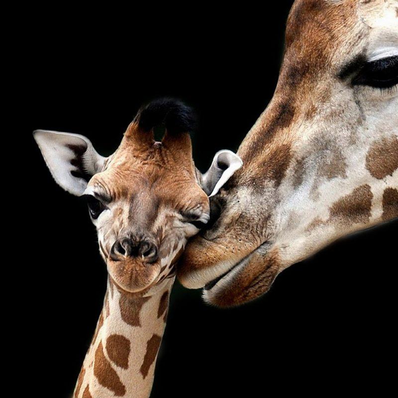 Giraffe with child schilderij